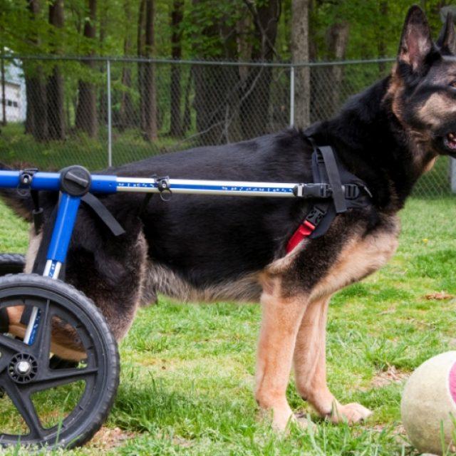 التهاب المفاصل عند الكلاب