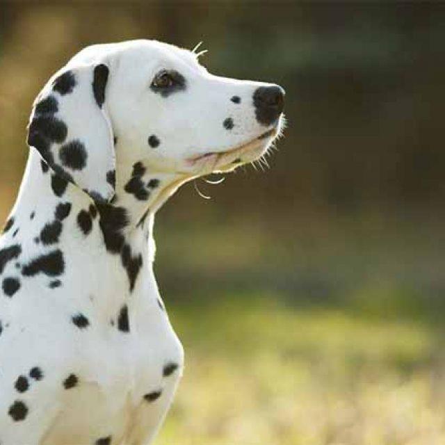 سلالة كلاب دلميشن الكلب الذي غزا السينما الامريكية