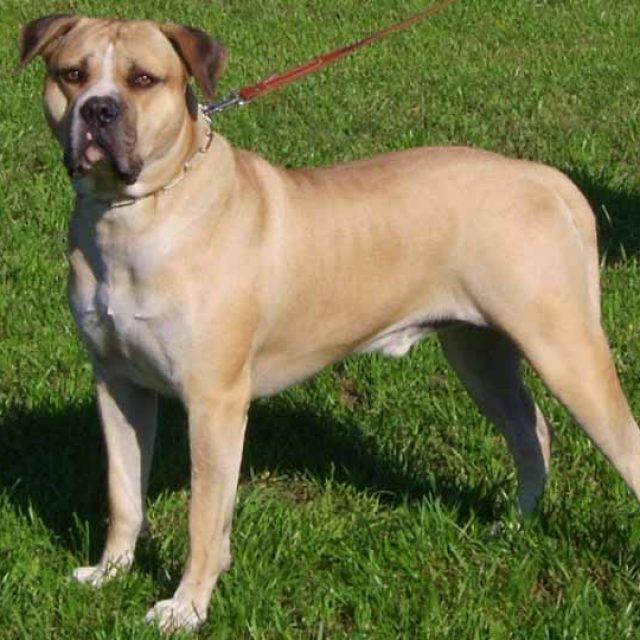 مواصفات كلب البول دوج الأمريكي بالصور