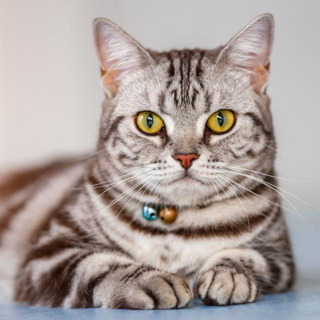 القط الامريكي قصير الشعر American Shorthair