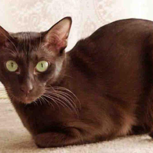قط هافانا البني .. صديق البشر الذكي جدا