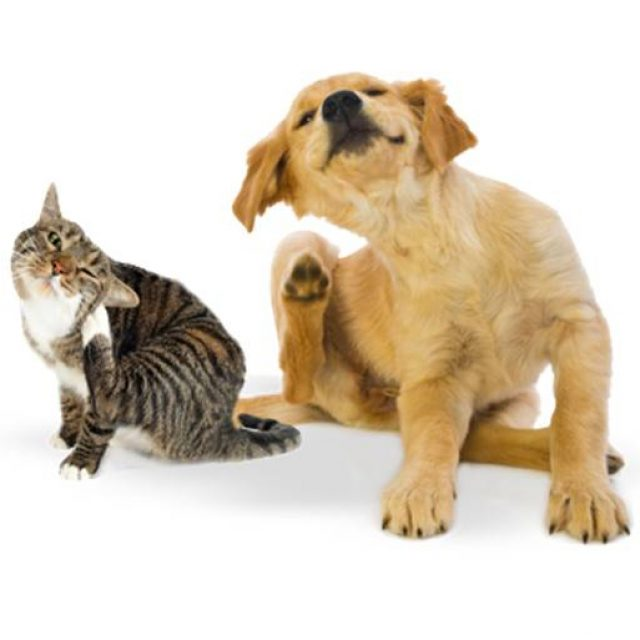 7 حشرات تصيب الكلاب والقطط .. احذر منها جدا