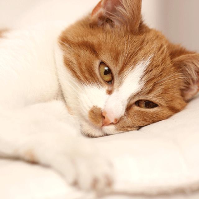 7 من أشهر أمراض الجهاز الهضمي للقطط