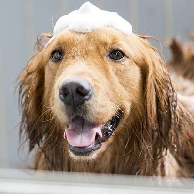 هل يصلح الصابون العادي بديل شامبو استحمام الكلاب