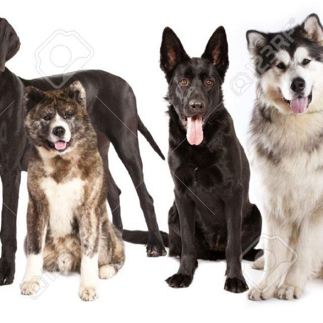 أشهر سلالات الكلاب في مصر