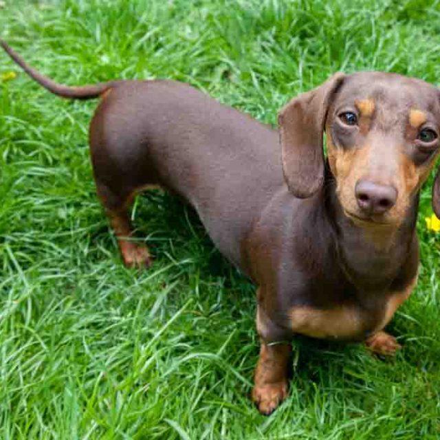 معلومات عن كلب داشهند الألماني