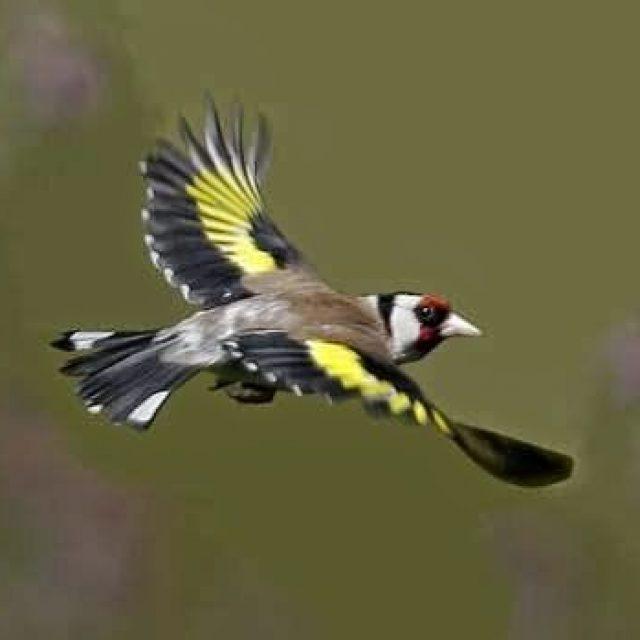 ما هي أنواع طائر الحسون وألونه