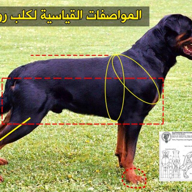 مميزات وعيوب كلاب الروت وايلر ومواصفاته بالصور