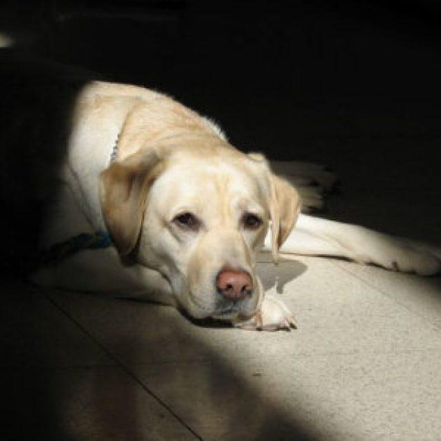 السكتة الدماغية في الكلاب