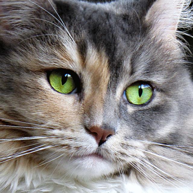 أمراض العيون عند القطط وعلاجها