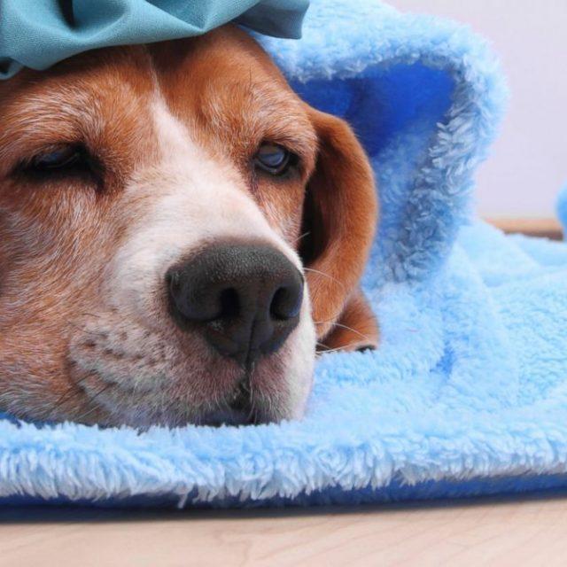 أنفلونزا الكلاب: أعراض نزلات البرد عند الكلاب وطرق العلاج