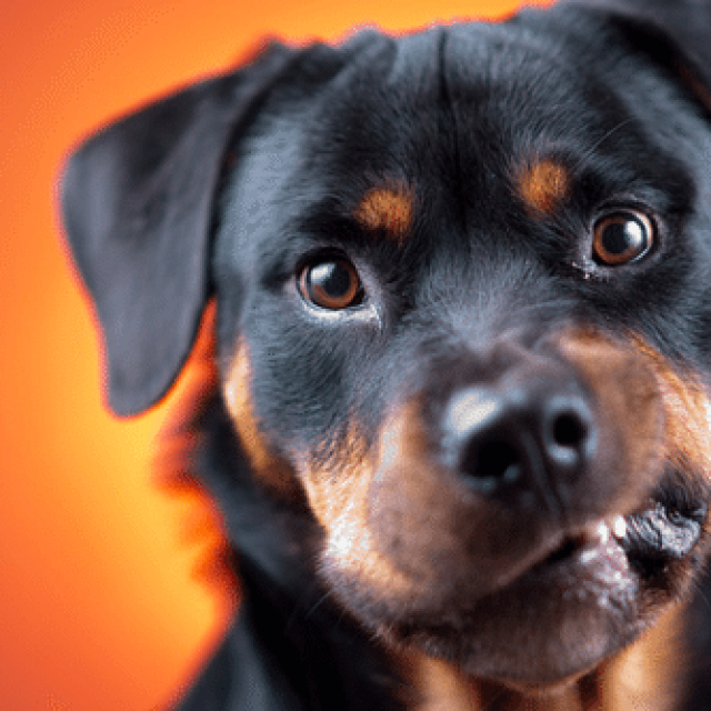 تعديل سلوك الكلاب العدوانية والشرسة