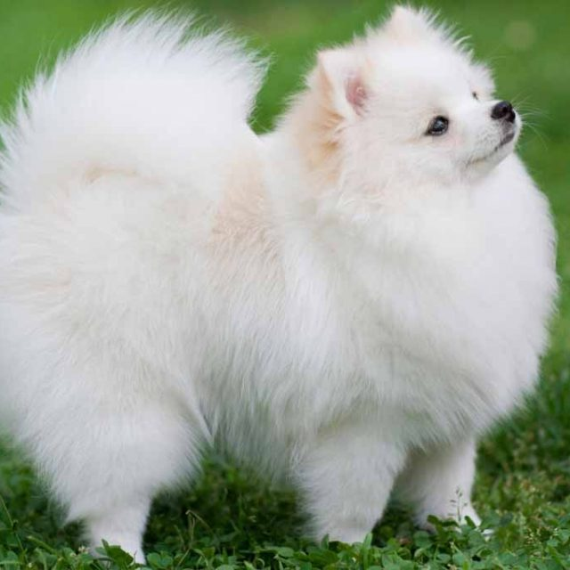 صفات كلب بومرينيان صديق المشاهير والعظماء