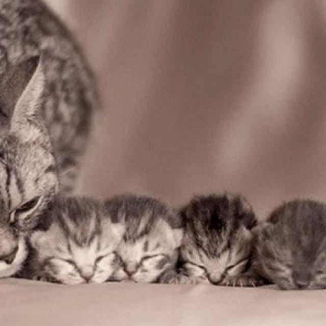 ما هو متوسط عمر القطط و ما عمر القطط المناسب للتزاوج