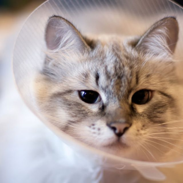 أسباب احمرار العيون عند القطط