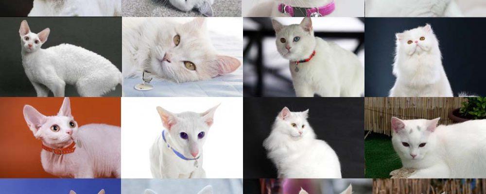 أنواع القطط البيضاء بالصور .. 15 نوع هل تعرفهم ؟