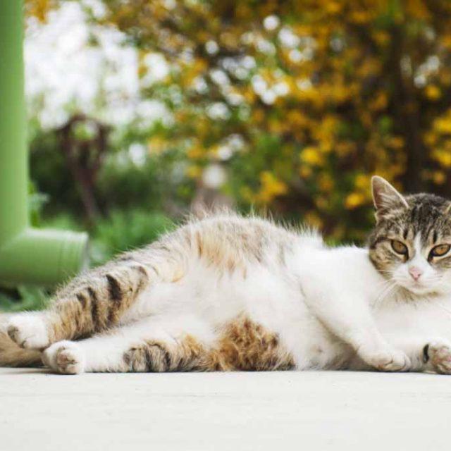 تصرفات القطط الحامل : 7 سلوكيات مميزة
