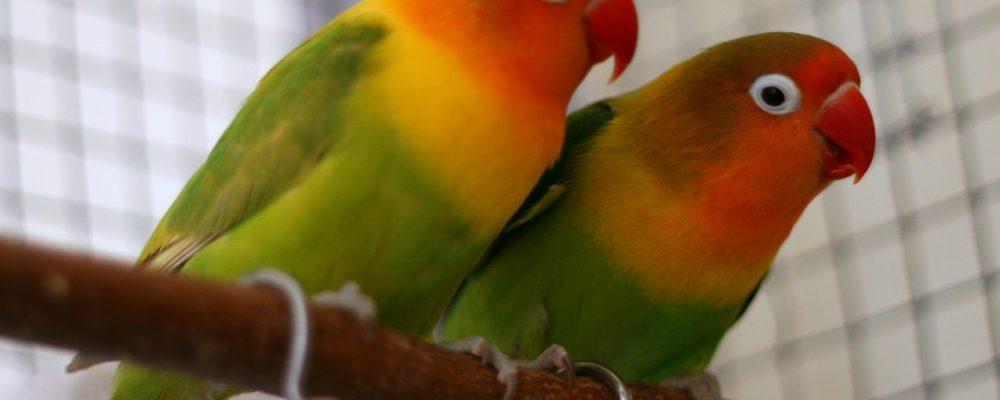 أمراض عصافير الزينة الروز (طائر الحب) وعلاجها