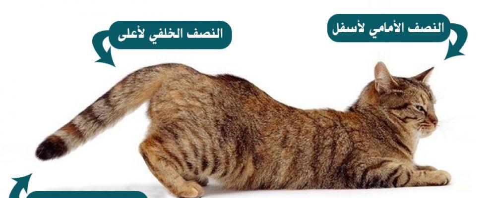 معلومات عن تزاوج القطط بالصور