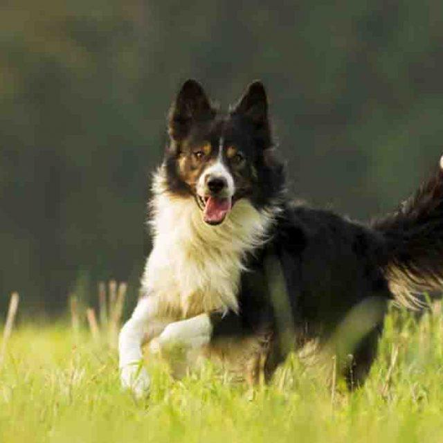 معلومات عن كلاب بوردر كولي Border Collie