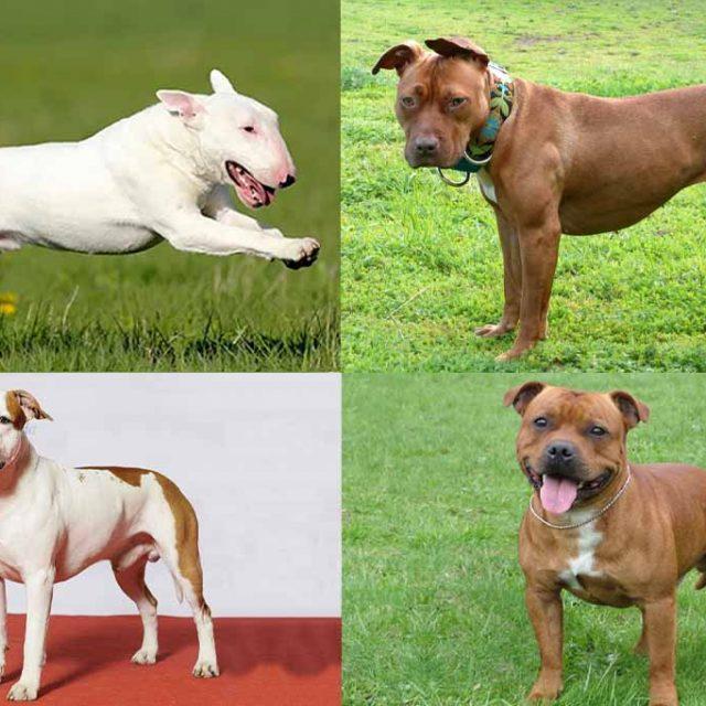 أنواع كلاب البيتبول..أشرس كلاب في العالم