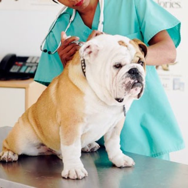 الخلل الهرموني للكلاب: مرض كوشنج في الكلاب Cushing's Disease