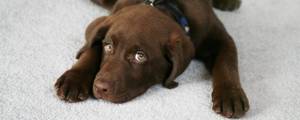 لماذا يقوم الكلب بالحفر في السجاد والبلاط ؟