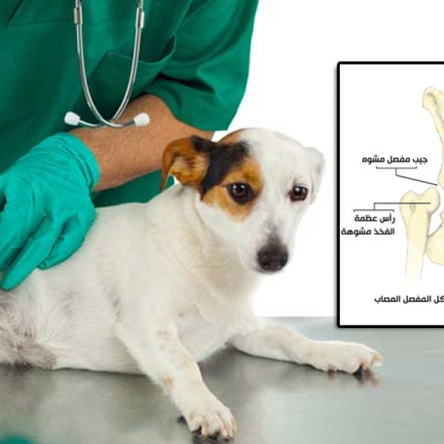 مشكلة تشوه مفصل الفخذ في الكلاب