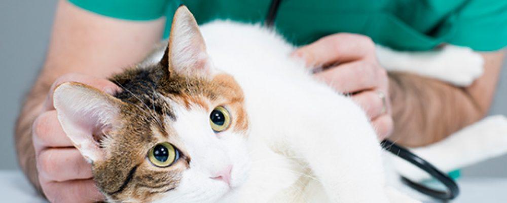 علاج جروح القطط في المنزل بالتفصيل