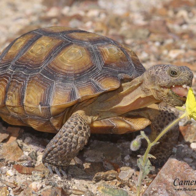 نصائح عن تربية السلاحف الصحراوية