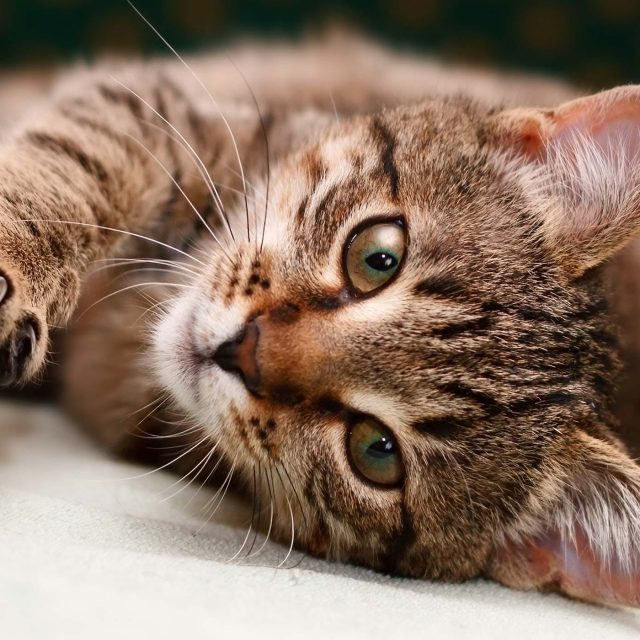 علاج فطريات القطط وأنواع الفطريات في قطتك بالتفصيل