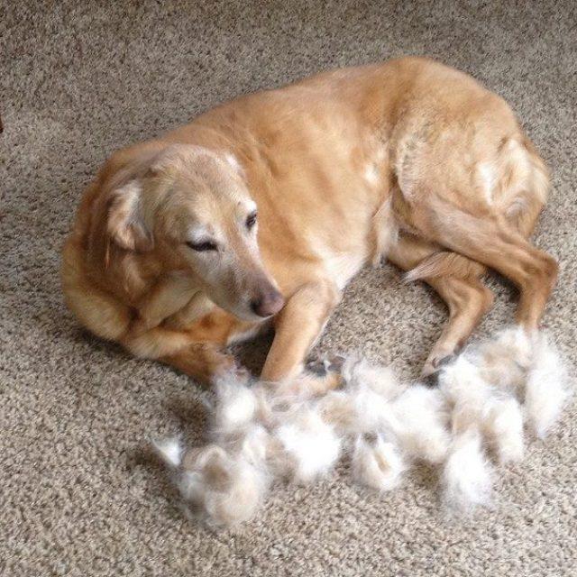 القلش عند الكلاب .. موسم تساقط شعر الكلاب