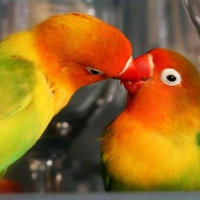 التكاثر في طيور الزينة بكافة أنواعها
