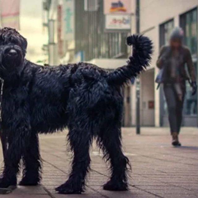 مواصفات كلاب جاينت شناوتزر العملاق