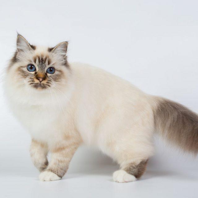 سلالات القطط بالصور : السلالات ذات العيون الزرقاء بالصور