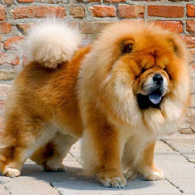 مواصفات كلب تشاو تشاو Chow Chow
