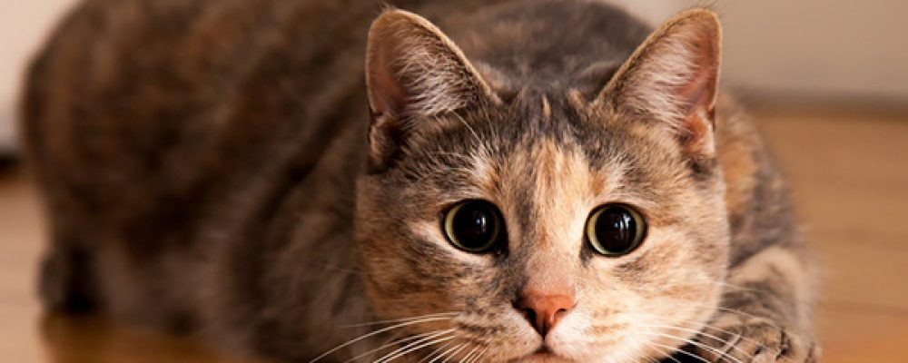 تعرف على 9 من سلالات القطط التي تحب المواء كثيرا
