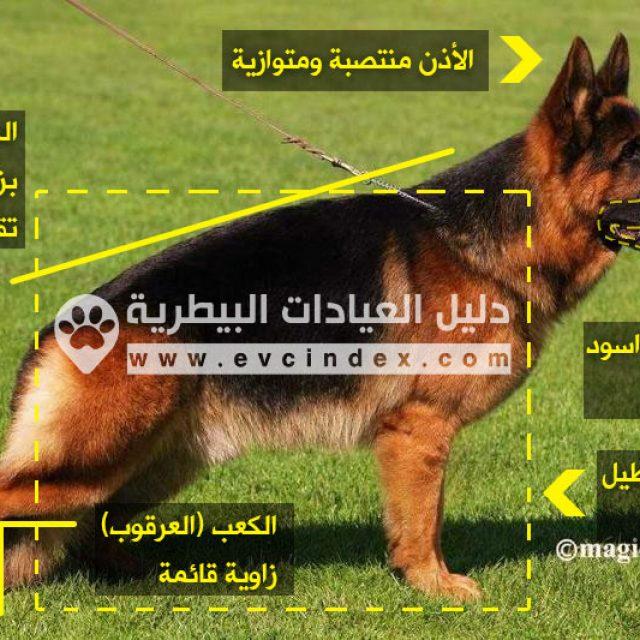معلومات عن كلاب جيرمن شيبرد بالتفصيل