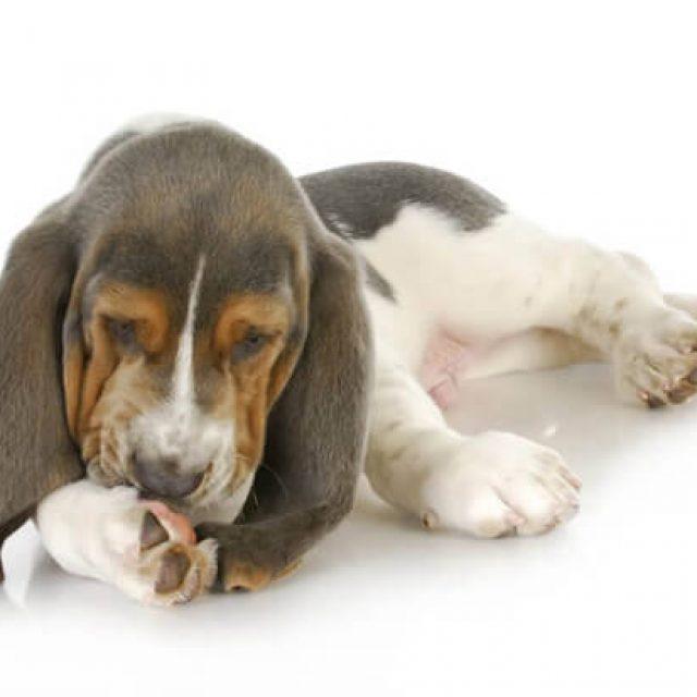 لماذا يقوم الكلب بلعق جسده ؟