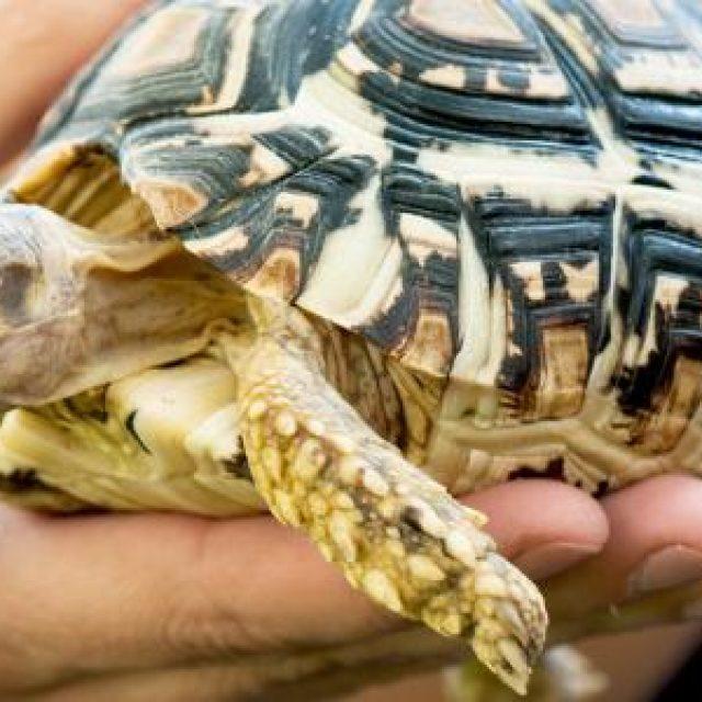تربية السلاحف البرية في المنزل