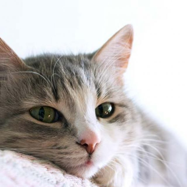 كيفية تهدئة القطط في موسم التزاوج في 5 خطوات