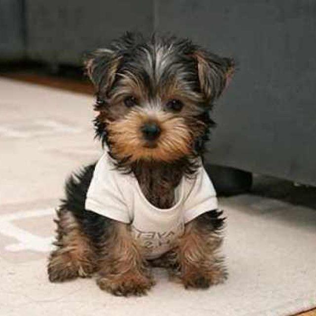 أنواع الكلاب الصغيرة : 9 من أفضل أنواع الكلاب المنزلية الأليفة