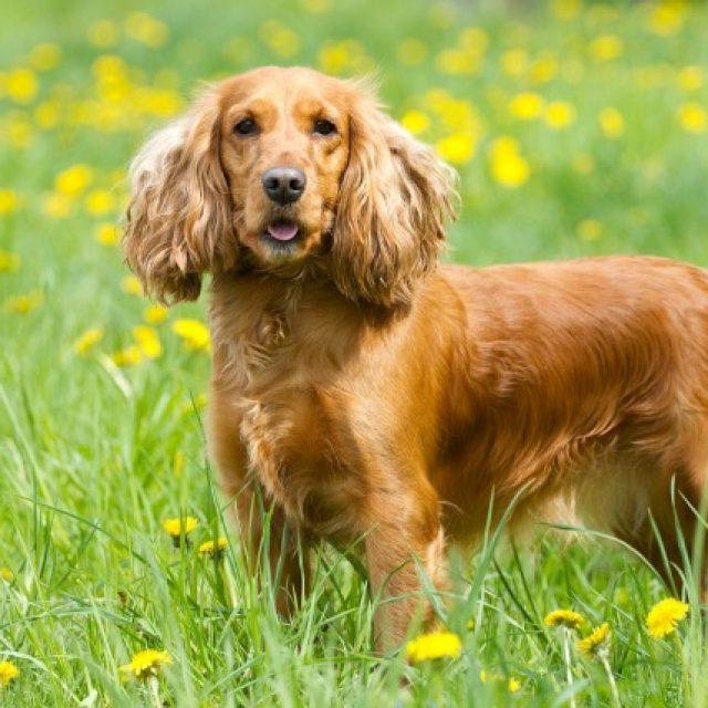 حصوات المرارة في الكلاب : الأعراض والأسباب والعلاج