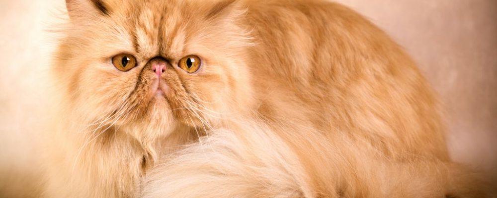 كل شئ عن القطط الشيرازى (قطط بيرشن)