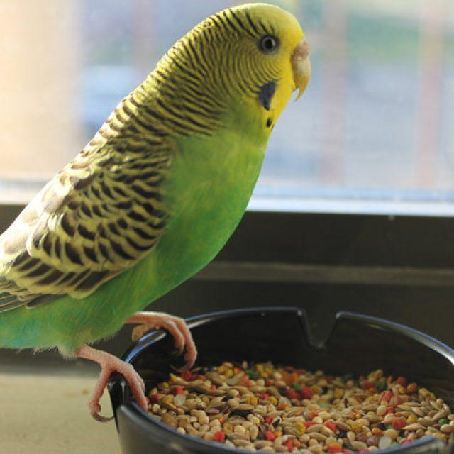 تربية طيور الزينة الاسترالي في المنزل