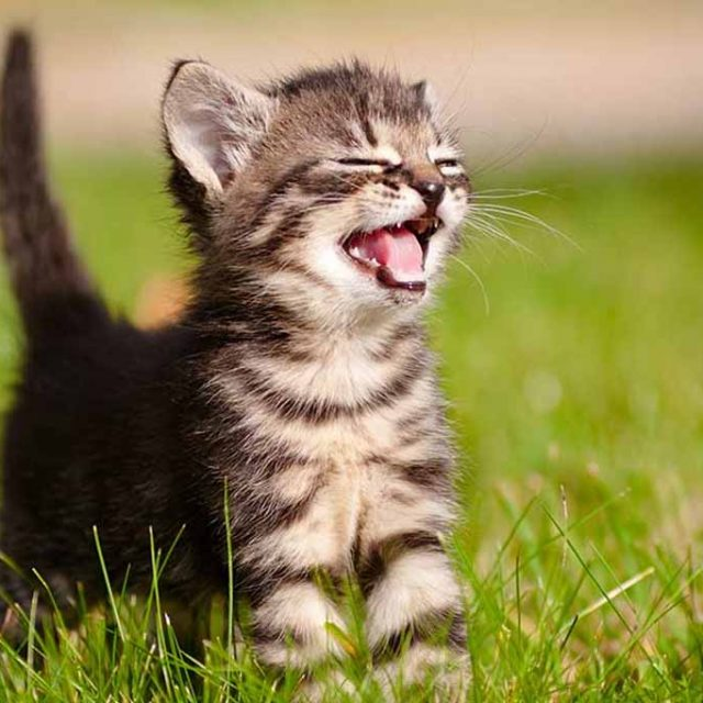 ما هو علاج زغطة القطط (فواق القطط)