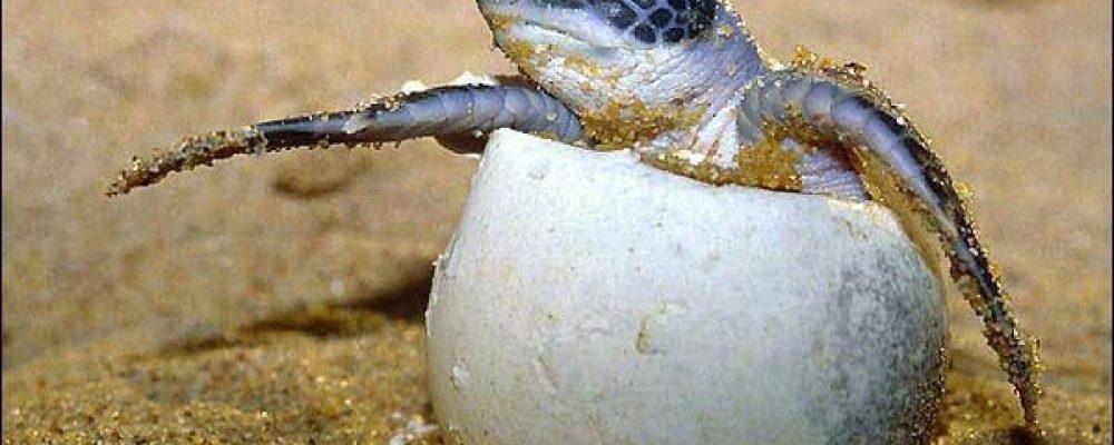 كيف يحدث التكاثر في السلاحف