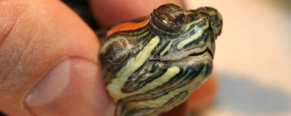 أشهر أمراض السلاحف المنزلية