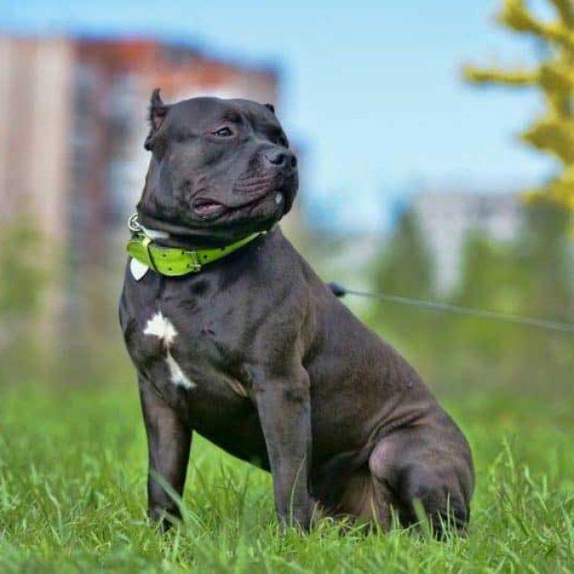 كلب امريكان بولي : المواصفات والأنواع بالتفصيل