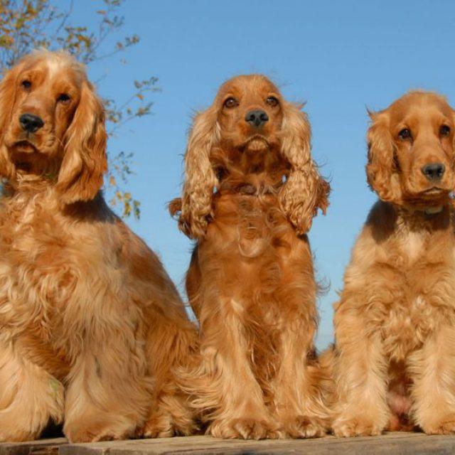 سلالة كلاب كوكر اسباني: مميزات وعيوب ومواصفات كلب كوكر سبانيول